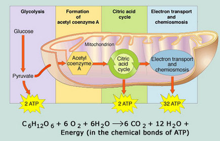 Matter, Energy and Transport - Mrs. Tyler's Advanced Placement Biology